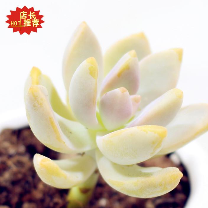 精品多肉植物淡雪多头吸甲醛净化空气卧室阳台办公室绿植花卉盆栽