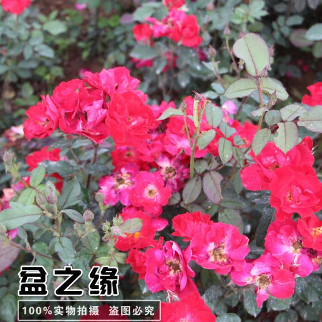 红帽月季批发 成活率高 地被月季销售 红帽月季苗 30-50高