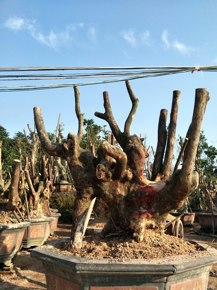 基地直销优质紫薇盆景紫薇树苗大量出售古树名木大小型盆景造型树