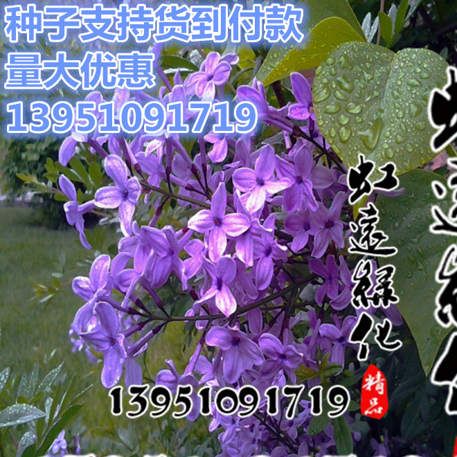 批发优质灌木种子 暴马丁香种子 紫丁香种子批发 全新种子 保证