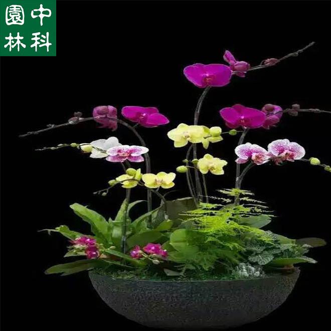 深圳基地生产直销 蝴蝶兰花卉盆栽 阳台室内盆栽低价批发 带花苞
