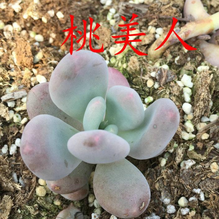 8150桃美人 (1)