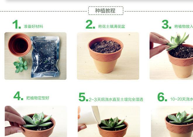 多肉植物种植步骤