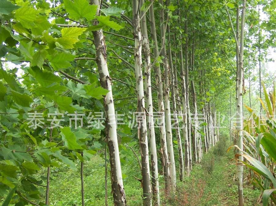 大量出售各种规格法桐树苗 优质速生法桐苗 出售各种高度法桐苗