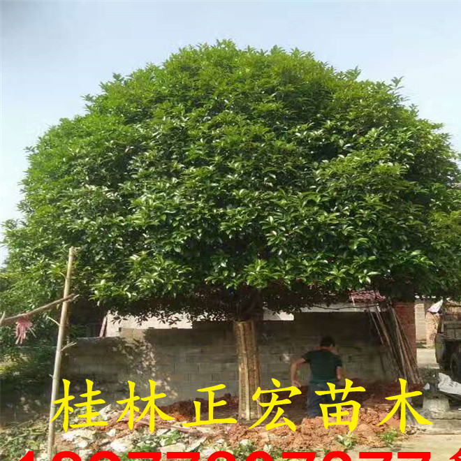 行道风景树 桂林桂花树 25公分桂花 成活高