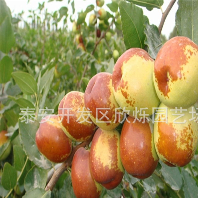专业苗木基地出售批发沾化冬枣苗 庭院种植果树冬枣苗 品质可靠